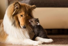 Orphaned Baby Fox Lives The Fairytale Life With His Gorgeous Collie Foster Mom