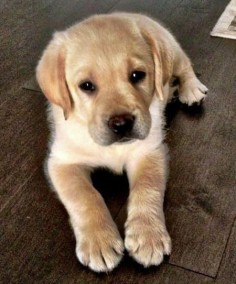 Otto the Labrador Retriever