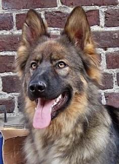 Oudduitse herder kennel 'Van de Gitsberg'
