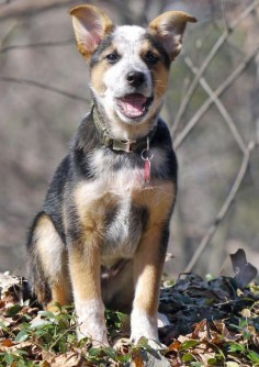 Ozzie the Cattle Dog