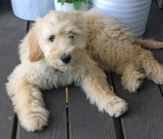 Paisley the Goldendoodle-Such a pretty girl!