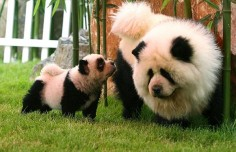 Panda chow chows