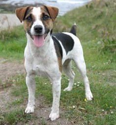 Parson Jack Russell terrier - want it!