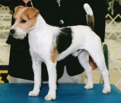 Parson Russell Show dog