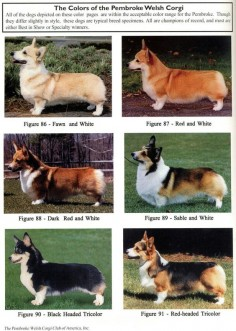 Pembroke Welsh Corgis. Not sure if I'd call Matilda fawn or red.