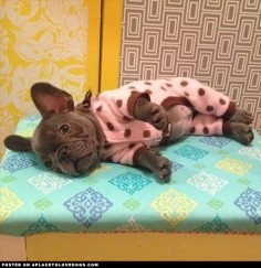 Penny, a French Bulldog puppy, all ready for bed in her cute little jammies.
