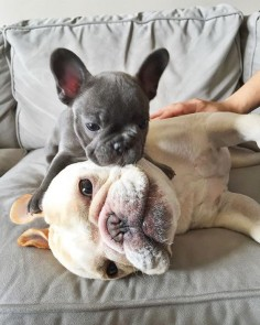 """People let me tell you about my best friend""...French Bulldog Besties."