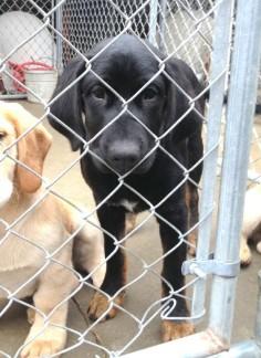 Petfinder  Adoptable   Dog   Black Labrador Retriever   West Monroe, LA   274Green
