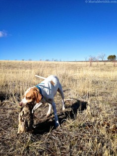 Pheasant Hunt in Southwest Colorado | Upland Bird Hunting | #hunting #dog #upland #bird #1816 #remington