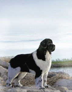 Photo by Winter-Churchill Landseer Newfoundland Dogs Puppy Hound Pups Dog Puppies Lanseer