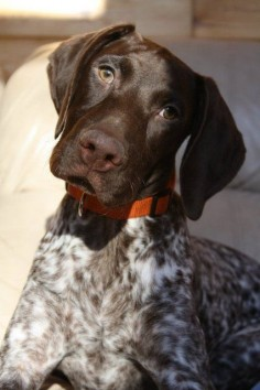 Pictures of German Shorthaired Pointer Dog Breed.