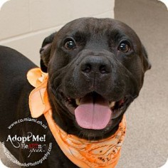 Pit Bull Terrier/Labrador Retriever Mix Dog for adoption in Troy, Ohio - Rocky
