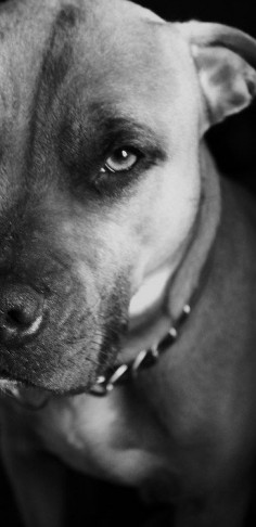 Pit bulls are beautiful.