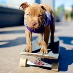 Pit Bulls want their own skate park!