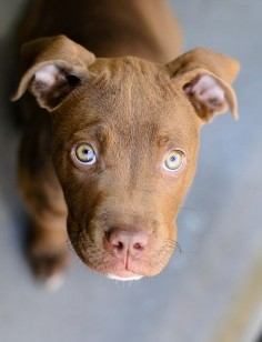 Pitbull puppy dog eyes by DanCalBear on Flickr.