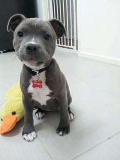 Pitbull puppy!