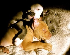pittie pile. #pitbull #American Pit Bull Terrier Puppy Dogs