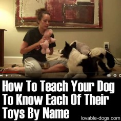 Please Share This Page: Photo –  This video by Kristin Crestejo is a great demonstration of teaching a dog to know each of its toys by name. This promotes dog intelligence because it helps analyze the things around it and differentiate between different objects. This type of training is backed up with positive reinforcement …