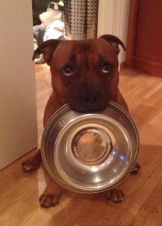 Please sir, may I have some  Aaawwww that face!!! #pitbull