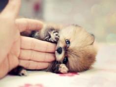 pom pom #dog #puppy #pomeranian