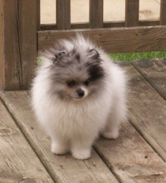 #pomeranian #dogs i love poms! ima pom mom