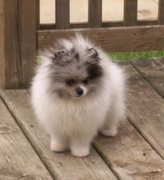 #pomeranian #dogs i love poms! ima pom mom
