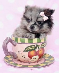 Pomeranian Puppy, Teacup Yorkie Puppies For Sale at TeaCups Puppies and Boutique