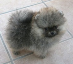 Pomeranian with Wolf-Spitz markings looks like a tiny Keeshond