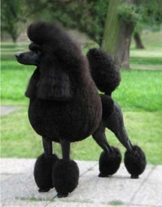 poodles | Evil black poodles, electrifying Beethoven and DNA. Our top OAE ...