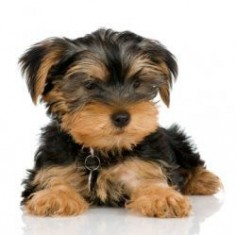 Potty train your yorkie Step by Step. Yorkie potty training is one of the most common questions I get asked by owners. One of the most