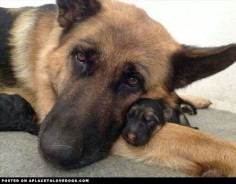 Precious German Shepherd with puppy ♥
