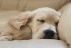 Precious golden retriever puppy sleeping! ♥ | Pet Photography | Puppies | Dog |