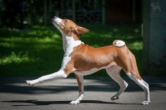 Proud to be a basenji.