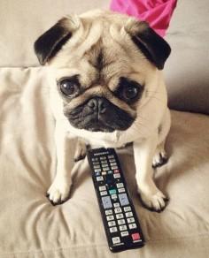pug dog tv