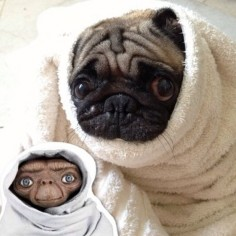 Pug dressed like  #costumes #pets #pugs