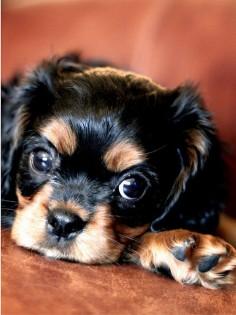puppy! Cavalier King Charles Spaniel