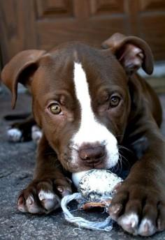 #puppy #dog #pitbull