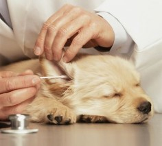Puppy Ear Grooming: How To Safely Clean Puppy Ears: Ask your veterinarian to demonstrate how to clean your puppy's ears.
