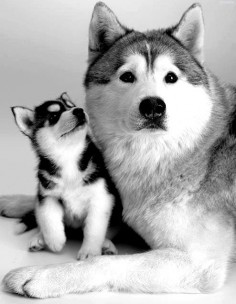 puppy husky dog family