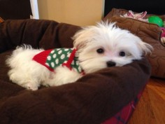Purebred Maltese 13 Weeks Lilly