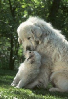 Pyrenees pup and mom