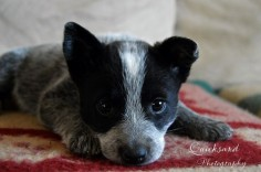 quicksandphotography | PHOTOS blue heeler blue heeler puppy. Australian cattle dog