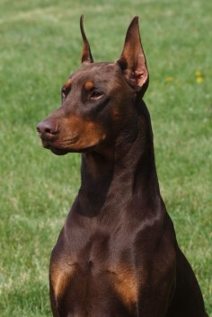 Red Doberman. Gorgeous. Looks like our first dog.