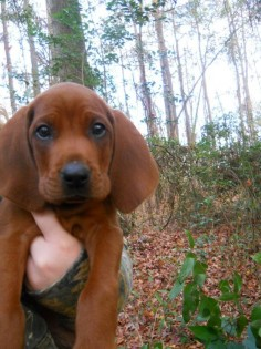 The cutest Redbone Coonhound puppy around how could you not love this face ?! Ahh I can't wait to get one !