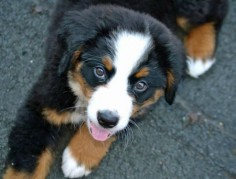 Resli-the-Bernese-Mountain-Dog puppy