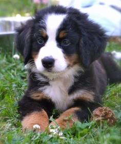 Resli the Bernese Mountain Dog