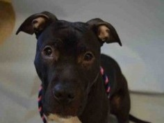 RETURNED!!! 6/28/16 PET HEALTH!! POOR LITTLE SWERTHEART!! - RTO SAFE ❤️ 2/23/16 Manhattan Center MINNIE – A1065067 FEMALE, BLACK / WHITE, AM PIT BULL TER MIX, 7 mos OWNER SUR – EVALUATE, NO HOLD Reason PERS PROB Intake condition EXAM REQ Intake Date 02/13/2016, From NY 10026, DueOut Date 02/13/2016, Urgent Pets on Death Row, Inc