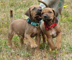 Rhodesian Ridgeback Puppies in Washington