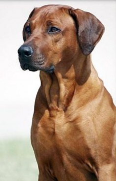 Rhodesian Ridgebacks -looks like our Chili before he started going gray. (the darker the face, the sooner they start to gray)
