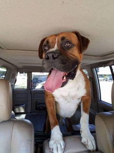 Rollie is an adoptable Boxer searching for a forever family near Eugene, OR. Use Petfinder to find adoptable pets in your area.